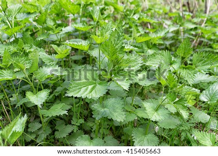 Green leaves of stinging nettles  (Urtica dioica) in nature. Bed of nettles.