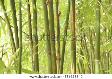 Green leaves of the bamboo.
