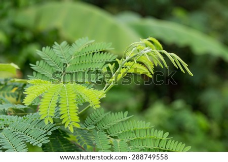 green leaves of the horse tamarind plant the lead tree genus Acacia