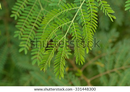 green leaves of the horse tamarind plant, the lead tree, genus Leucaena Acacia,White popinac (Leucaena)