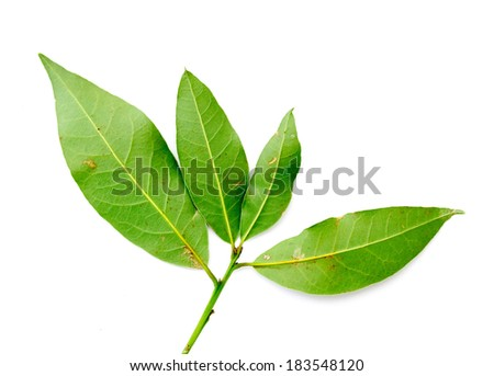 green leaves of the laurel tree