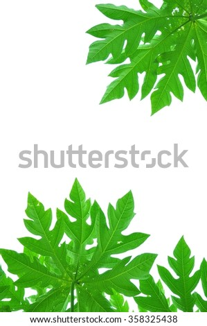 Green leaves of the papaya on white background.
