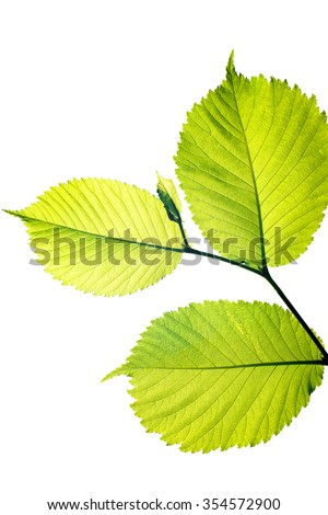 green leaves of the tree on isolated white background in the spring sun. Forest hazel or elm - stock photo