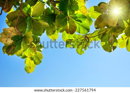 Green Leaves of tropical tree against the sky and sun - stock photo