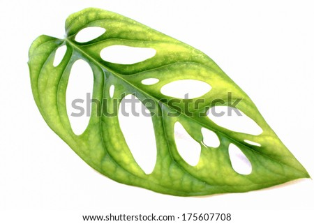 Green leaves of Window-Leaf.  - stock photo
