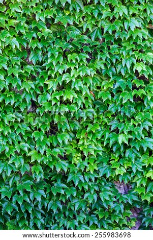green leaves on a old stone wall - stock photo