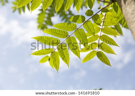 Green leaves on blurred blue sky background