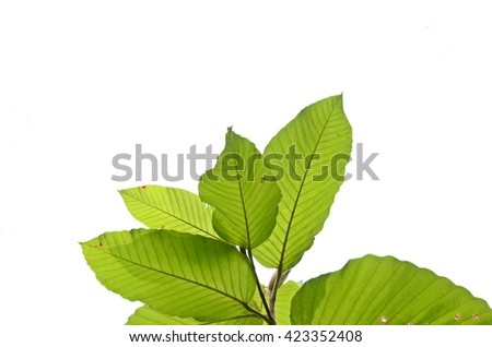 green leaves on isolated white background - stock photo