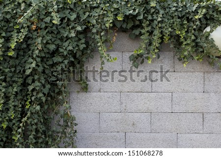 Green leaves on old brick wall for use as background
