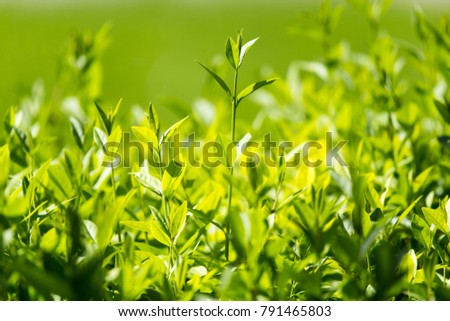 Green leaves on the plant