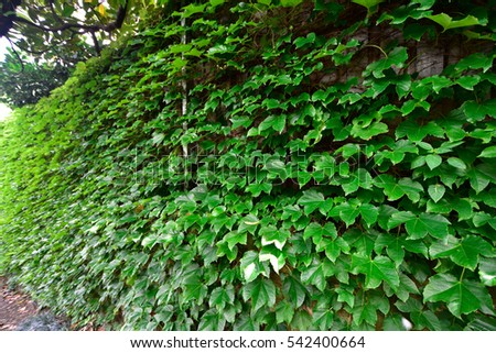 Green leaves on the wall
