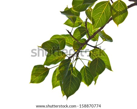 green leaves on the white background - stock photo