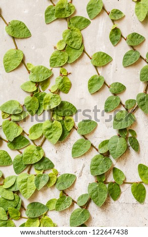 Green leaves on wall - stock photo