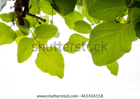 Green leaves on white cloud background maybe use as foreground