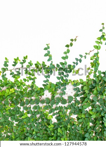 Green leaves plant on wall isolated on white - stock photo