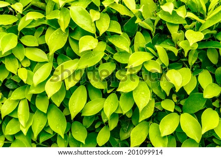 Green leaves real wall background have water drop sunlight background and texture natural bright in the morning - stock photo