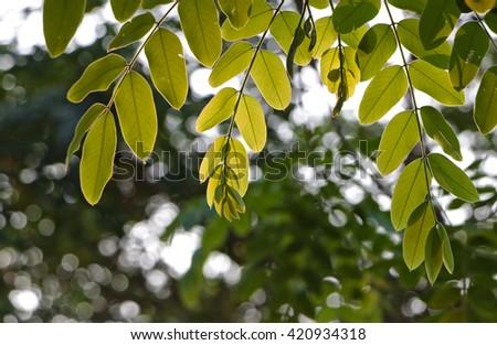Green leaves translucent under summer sun light. - stock photo