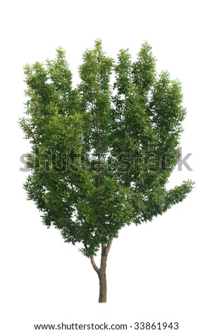 Green leaves tree isolated