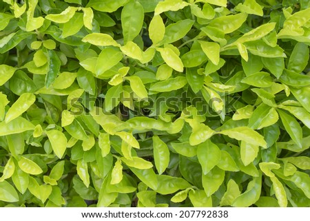 Green leaves under sunlight