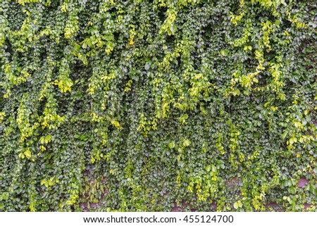 Green leaves wall and old wood wooden background texture / Natural green leaf wall, Texture background - stock photo