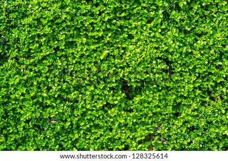 Green leaves wall background - stock photo