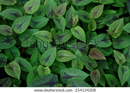 Green leaves wall background / outdoors photography of green foliage in summer time   - stock photo