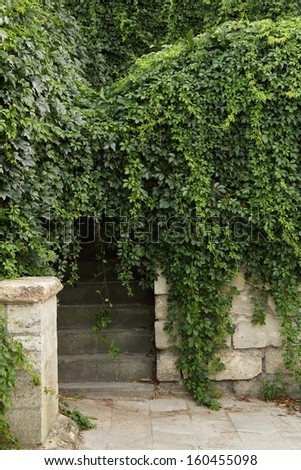 Green leaves wall/Closeup of Lush ivy covered a wall - stock photo