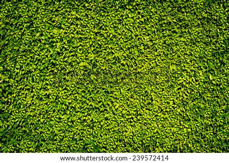 Green leaves wall for background  - stock photo