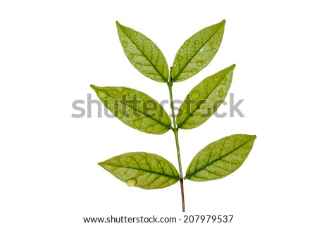 Green leaves with drops isolated on a white background
