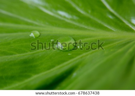 Green leaves with drops of water. close up,leaf  macro