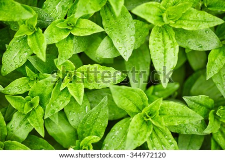 Green leaves with drops of water. Nature background