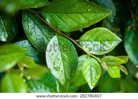 Green leaves with water drops, natural background.