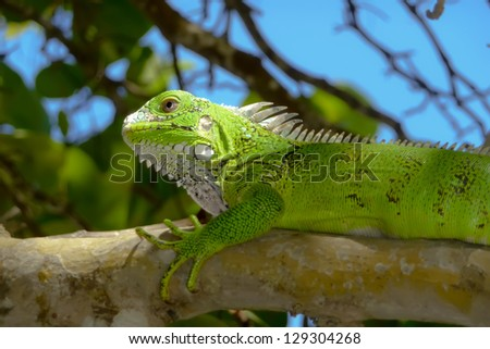 Green Leguan or Lguana on a treebranch