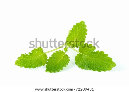 green lemon balm isolated on white - stock photo