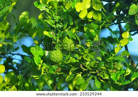 green lemon - lemon tree -limes - lime tree - stock photo