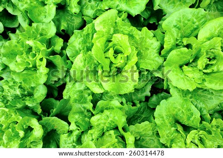 green lettuce crops in growth  - stock photo