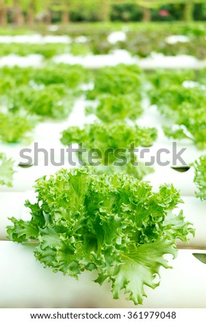 Green lettuce in hydroponics farm, selective focus.
