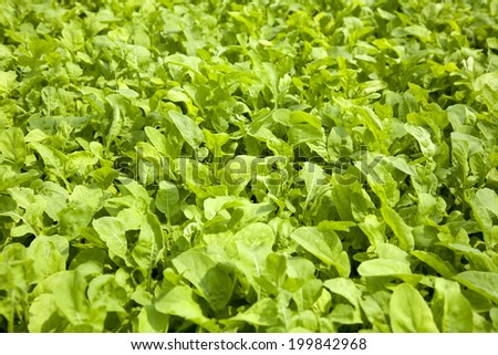 Green Lettuce salad background - stock photo