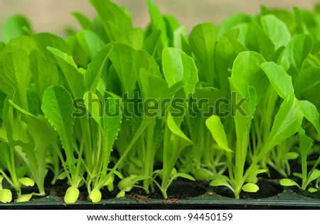 Green lettuce seedling. food and vegetable background. - stock photo