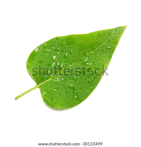 Green lilac leaf isolated on white background.