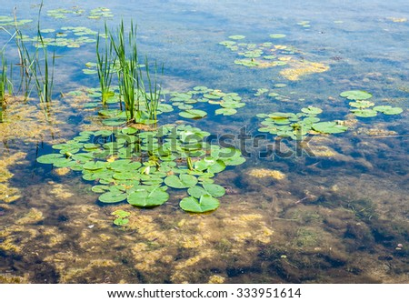 Green lily pads, brown algae, and reeds in shallow stagnant pond water. - stock photo