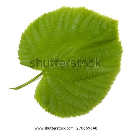 Green linden-tree leaf. Isolated on white background. - stock photo