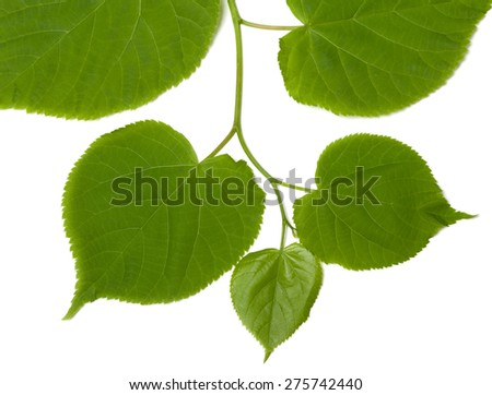 Green linden-tree leafs isolated on white background - stock photo