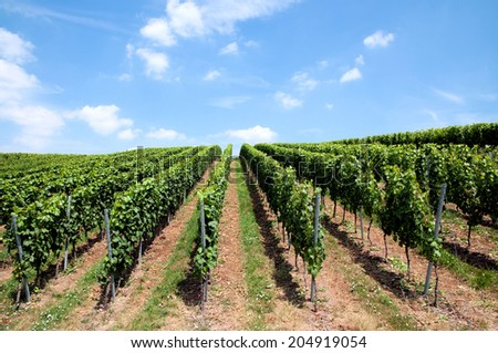Green lines of wine in a vineyard in Germany