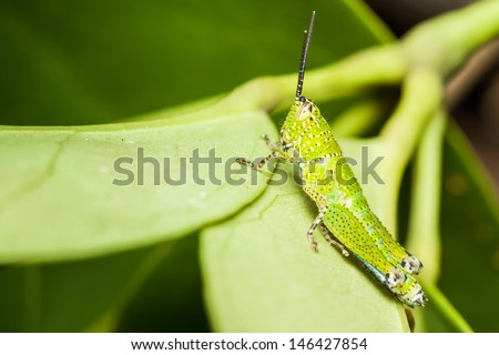Green little grasshopper relaxing on leaf