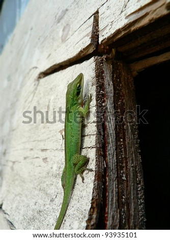 Green lizard clinging to weathered plywood.