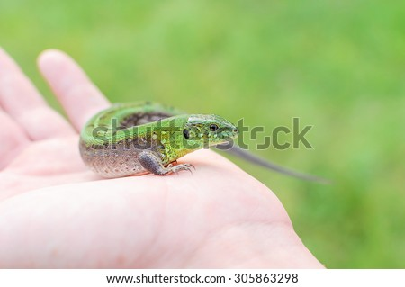 Green lizard in hands of the person. Small reptile. - stock photo