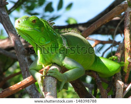 Green lizard in the bushes, Bahia Honda State Park, Florida, USA - stock photo