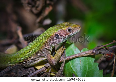 Green lizard in the grass and ticks
