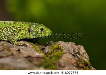Green lizard(Lacerta viridis) is a species of lizard of the genus Green lizards. Macro.